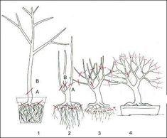 Bonsai, hoe maak ik zelf een bonsai via gespecialiseerde snoeitechnieken?(1384488552)
