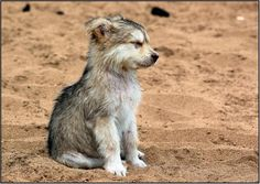 Just a little wolf puppy looking majestic.