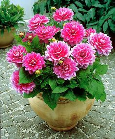 'Patio dahlia 'Blusette' with its low, compact growing habit and immensely pink and white flowers is perfect for planting in pots and containers.
