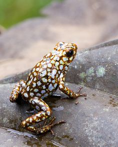 Unusual looking frog! Nature Animals, Animals And Pets, Cute Animals, Funny Frogs, Cute Frogs, Reptiles And Amphibians, Mammals, Beautiful Creatures, Animals Beautiful