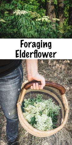 Foraging Elderflower ~ Learn how to identify elderflower and forage for this beautiful edible flower, plus ideas on how to use this fragrant and medicinal early summer blossom! Healing Herbs, Medicinal Plants, Natural Healing, Elderberry Flower, Edible Wild Plants, Wild Edibles, Elderflower, Edible Flowers, Herbal Medicine