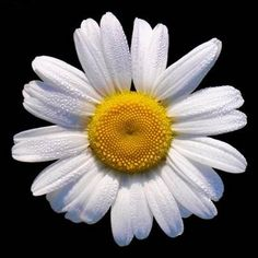 daisy - Bing Images