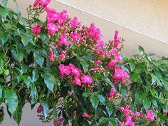 Ipoméia (Ipomoea horsfalliae). Quem optou por pergolados em seu jardim deve considerar o cultivo da Ipoméia, ela também fica ótima para ser cultivada com a parede como suporte. As suas folhas são brilhantes e o florescimento acontece durante quase todo o ano. Uma planta que se adapta bem a espaços com maior exposição ao sol.