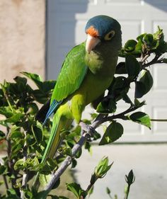 Orange-Fronted Parakeet or Orange-Fronted Conure