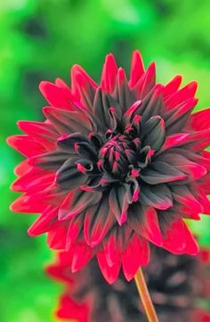 Dahlia Sam Hopkins - this might be my new favorite flower! Red and black? Yes please!!!
