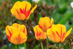 How to Grow and Care for Tulip Flowers in Containers.