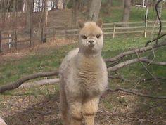 Baby Alpaca Animal | Baby alpaca :) | Animals