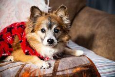 Pomeranian For Adoption, Rescue Dogs For Adoption, Pomeranian Chihuahua, Pomeranians, Vernon, Indiana, Corgi, Cute, Animals