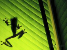 frog silhouette images - Google Search