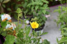 Geum 'Lady Stratheden' - Perennial with semi-double yellow flowers. Sunny position, www. Summer Flowers, Cut Flowers, Yellow Flowers, Colorful Garden, Perennials, Colour, Lady, Plants, Color