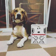 #ビーグル#beagle#愛犬#dog#すぬーぴー  うらら❤️❤️❤️。