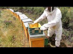 La salida de un enjambre de una colmena es un proceso natural de reproducción en la abeja pero.....el apicultor que quiera obtener producciones sabe que si s...