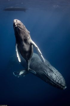 A Humpback Whale Calf Swimming to The Surface of The Ocean, as Adults Glide Below Him.  (Photo By: © Craig McInall.)