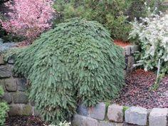 Picea abies 'Formanek' - Formanek Norway Spruce - Buy at Conifer Kingdom