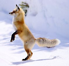 Red Fox in Winter Attempting to Get a Better Look.