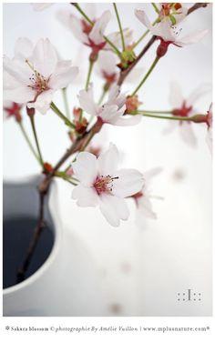 Sakura blossom : cherry blossom. Poésie visuelle, contemplation de la Nature, fengshui, épanouissement par la relaxation et la contemplation. Instant like poetry. J'aime prendre les fleurs de Sakura à contre-jour, la lumière bien posée révèle la finesse de leur formes et les détails des étamines telles des points sur des «i» parfaits. So perfect. WallArt ArtWorks Stylisme & photographies créations originales © Amélie Vuillon | mplusnature.com® | http://www.mplusnature.com