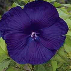 10+ Dinnerplate Hibiscus Perennial Flower Seed/ Easy to Grow/ Huge 10-12 Inch Flowers Saavy Seeds http://www.amazon.com/dp/B00PE3QB92/ref=cm_sw_r_pi_dp_55Hbvb191N0F8
