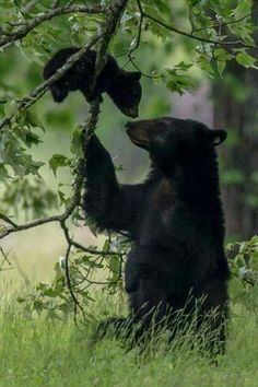 Black bear with baby sweet animal photography pictures #Bears