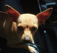 Shelly is an adoptable Chihuahua Dog in charlotte, VT. Shelly �was found as a stray in South Carolina. � No owner claimed her so she has been sent to us. �All the shelter could tell us is that she is ...