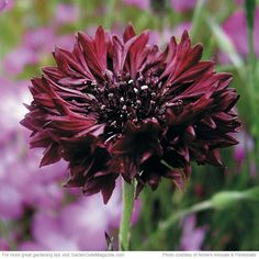 Bachelor's button is most often found in shades of pink, white and blue, but 'Black Gem' (actually burgundy) at left is an old variety, too....