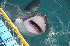 Great white Shark Cage Diving Cape Town ♥