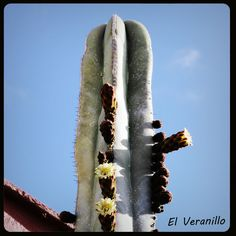 El cactus mas alto