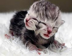 Two-headed cat meows through both mouths : A kitten was born with two faces in and it meows simultaneously through both mouths. Only one in a million kittens is born with two heads and it is unusual for this one to be doing so well. Animals And Pets, Funny Animals, Cute Animals, Unusual Animals, Funny Animal Pictures, Cute Pictures, Colorful Pictures, Two Faced Cat, Bizarre