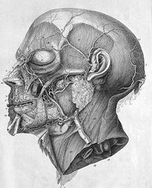 Anatomische Illustration von C. J. Rollinus in Albrecht von Hallers Werk Icones anatomicae von 1756