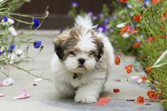 Tired of cleaning up dog hair? Here are some small breeds that don't shed.
