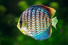 Stock foto af 'Discus , tropiske dekorative fisk'