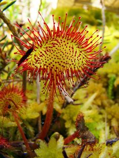 Sundew Carnivorous Plant ~ © Remontando el Vuelo