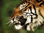 ¡Un estupendo salvapantallas de Tigres totalmente gratuito!