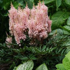 Treat your garden to this compact and charismatic Astilbe that sports raspberry pink plumes and works well as an easy and eye-catching groundcover.