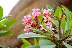 8/5(金)バリ島ウブドのお天気は晴れ。室内温度28.7℃、湿度66%。ちょっぴり雲が多くなってきました。柔らかな風がプルメリアの花を揺らしています。