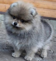 Pomeranian Puppy For Sale, Teacup Pomeranian, Pomeranian Haircut, Pomeranian Pups, Pets For Sale, Puppies For Sale, Dogs And Puppies, Doggies, Cute Baby Dogs