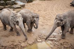 Trois éléphantes sont gestantes à Planckendael