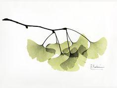 Ginkgo by Albert Koetsier - Susan Spiritus Gallery Art Floral, Motif Floral, Watercolor Leaves, Watercolor Paintings, Plant Illustration, Leaf Art, Botanical Prints, Art Techniques, Painting Inspiration