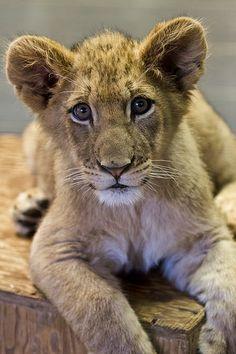 Ken the Lion Cub
