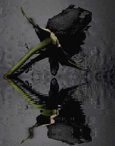 Black Rose Photo: This Photo was uploaded by carlaespanhol. Find other Black Rose pictures and photos or upload your own with Photobucket free image and. Black Is Beautiful, Beautiful Roses, Black Flowers, Black Roses, Colorful Roses, Shades Of Black, Dark Art, Bald Eagle, Flower Power