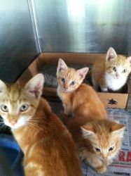 The Pumpkins is an adoptable Domestic Short Hair - Orange And White Cat in Chipley, FL. This is 'the pumpkins' 3 males 1 female one is around 4-5 months and 3 are 6-8 weeks old all are very sweet and ...