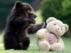 baby brown bear with a teddy bear | via Ladies Over Fifty