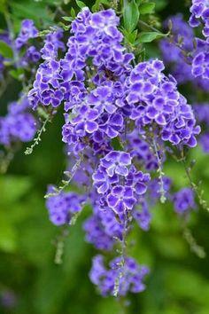 Purple duranta