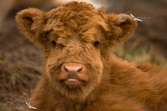 Highland Cow, Calf Portrait. Isle of Skye. Scotland.