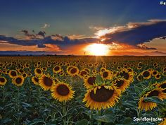 Sunflowers Wallpapers Group  1920×1200 Images Of Sunflowers Wallpapers (56 Wallpapers)   Adorable Wallpapers