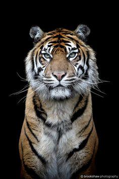 Sumatran Tiger - A stunning Sumatran Tiger named Kirana at Chester Zoo...