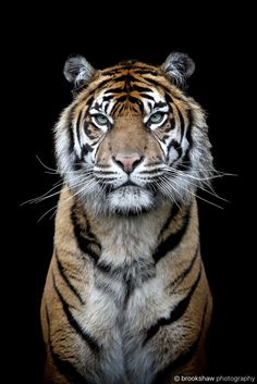 Sumatran Tiger - A stunning Sumatran Tiger named Kirana at Chester Zoo...
