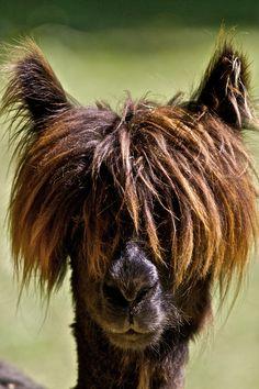 Funny looking Lama by Christophe Pfeilstücker on 500px