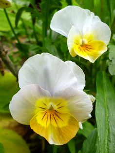 Violas and pansies are irresistible with their cheeky little flowery faces. I enjoy looking at their different colour patterns and trying to work out possible parents. I love what my designer bees do to pansies!