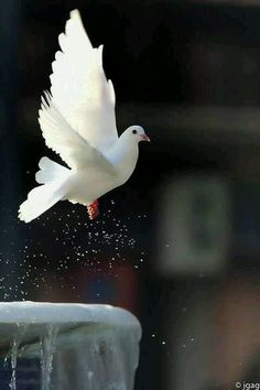 I had a white pigeon just like this one. She came to me, I gave her a home. ♥ Her name was Polly.