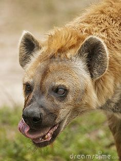 Google Image Result for http://www.dreamstime.com/hyena-eating-thumb14285783.jpg